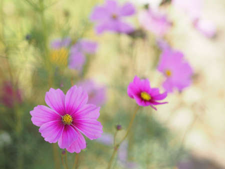 Pink color flower, sulfur Cosmos, Mexican Aster flowers are blooming beautifully springtime in the garden, blurred of nature background