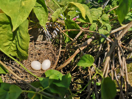 Two white bird egg in a nest made of hay on the tree, animal Poultry 版權商用圖片