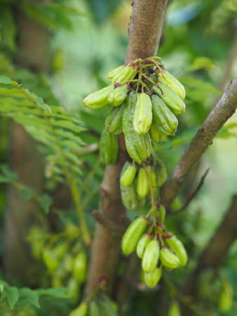 Averrhoa bilimbi, Oxalidaceae, Cucumber Tree green fruit concave is a shallow 4 pool yellowish green. flesh is a bouquet of tang, sour, flat seeds in gardening on blurred of nature Reklamní fotografie