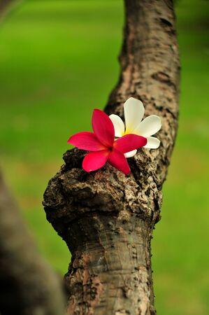 White and Red frangipani plumerria flowers photo