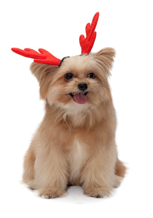 cute mixed breed dog with christmas red antler isolated in white background photo