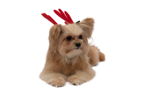 cute mixed breed dog with red antler isolated in white background photo