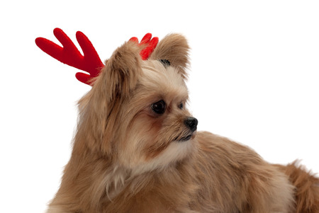 cute mixed breed dog with red antler isolated in white background with clipping path photo
