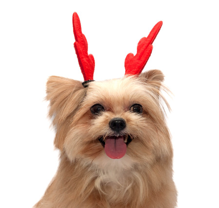 fresh mixed breed dog with cute christmas antler isolated in white background with clipping path photo