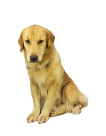 pure breed: pure breed golden retriever isolated in white background with clipping path Stock Photo