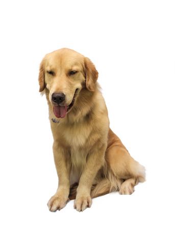 pure breed: friendly pure breed golden retriever isolated in white background with clipping path