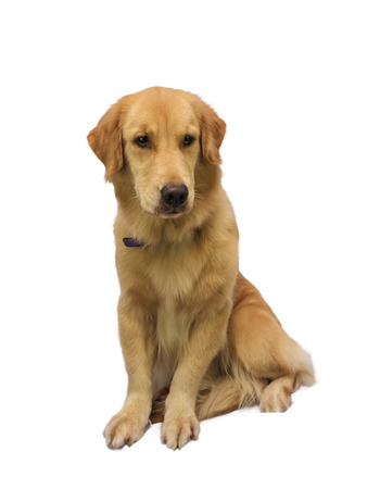 pure breed: pure breed golden retriever isolated in white background Stock Photo
