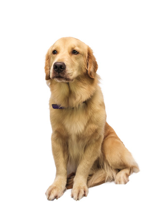 honest: honest golden retriever isolated in white background  Stock Photo
