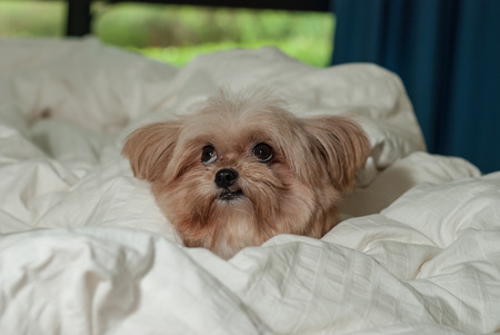 laying down: cute dog with funny face laying down in bed