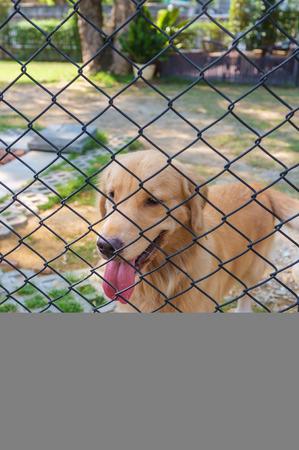 confine: cute golden retriever confine in cage