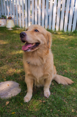 pure breed: pure breed golden retriever sitting in the garden Stock Photo