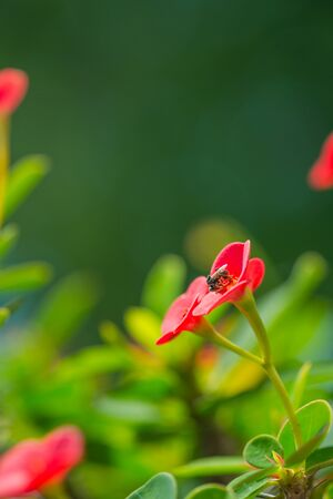 flower thorns: Crown Of Thorns Flower by morning light. Colorful flowers Stock Photo