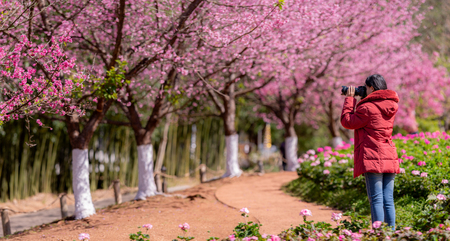 Landscape misty panorama , Beautiful cherry blossoms.asian woman traveler was sightseeing Cherry Blossom 스톡 콘텐츠