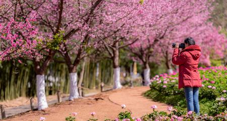 Landscape misty panorama , Beautiful cherry blossoms.asian woman traveler was sightseeing Cherry Blossom 版權商用圖片