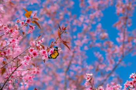 Beautiful sakura or cherry blossom in spring on blue sky , nature background 스톡 콘텐츠