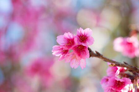 Beautiful sakura or cherry blossom in spring on blue sky , nature background 版權商用圖片