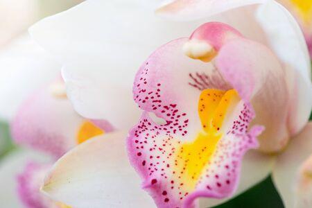 Close up Paphiopedilum Orchid
