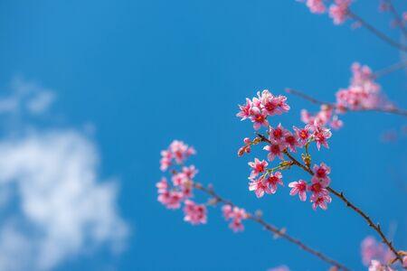 Schöne Kirschblüte oder Kirschblüte im Frühjahr am blauen Himmel, Naturhintergrund
