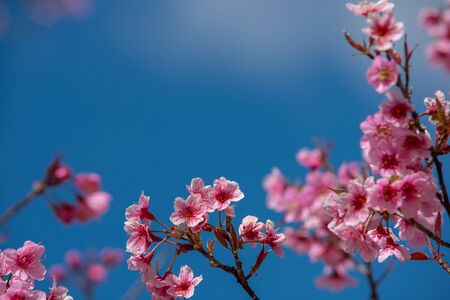Beautiful sakura or cherry blossom in spring on blue sky , nature background Stockfoto