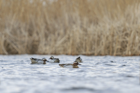 dabbling duck: flock males  floating on water .sping migration Stock Photo