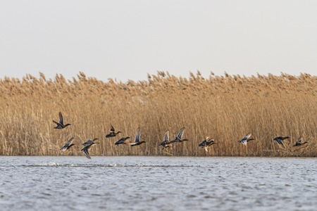flock of teals and over the water on the background of reeds
