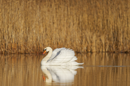 swimming swan: mute swan in all its glory .sping bird lowe