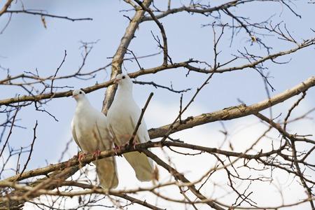 albero da frutto: coppia di colombe bianche recinto di rami
