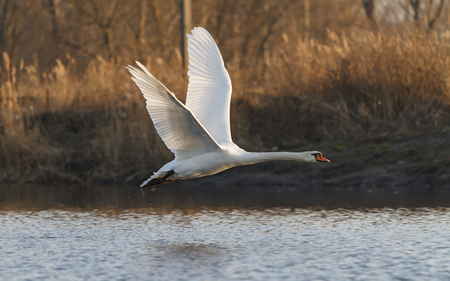 tundra swan: Swan in flight with a warm light