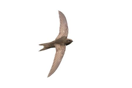 the fastest bird in the world in flight isolated.apus Standard-Bild