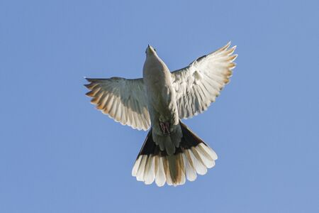 turtle dove: symbol of peace in flight with open wings. dove.turtledove Stock Photo