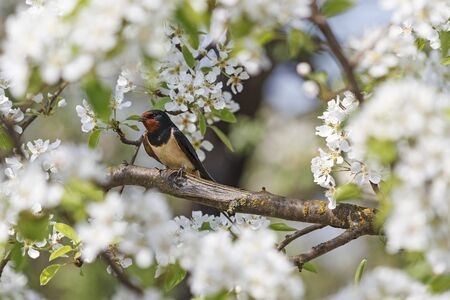 outspread: swallow the white flowers, bird on a branch