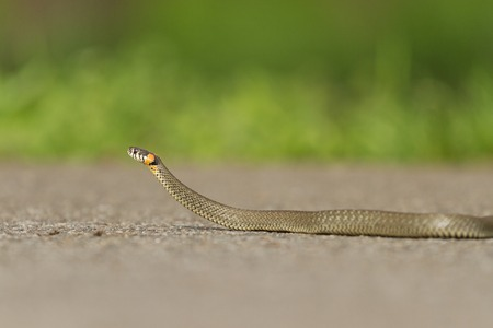 pgotography: snake crawling on the paved road, spring day
