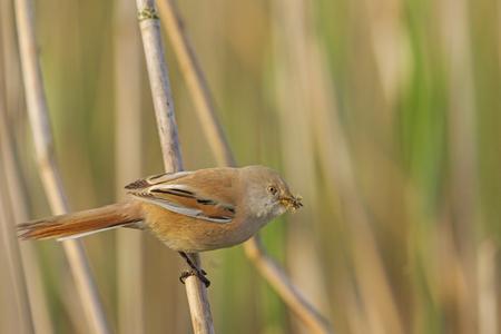 beak: Bearded reedling  with food for chicks in its beak