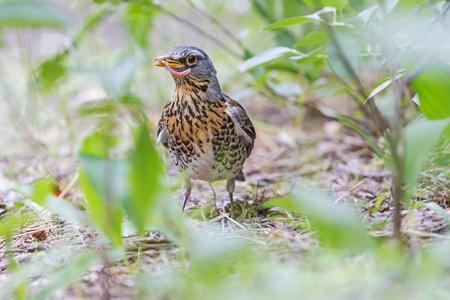 beak: bird with a worm in its beak. Fieldfare feeding chicks