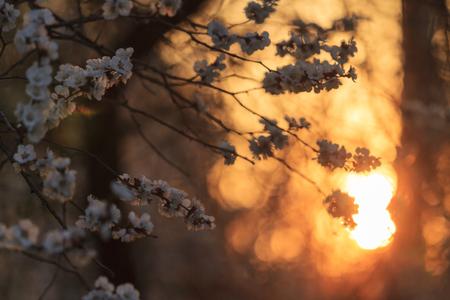 warm colors: flores de cerezo en la puesta del sol, colores cálidos, naranja