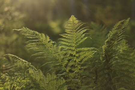 fiddlehead: The original world of ferns in the sun Stock Photo