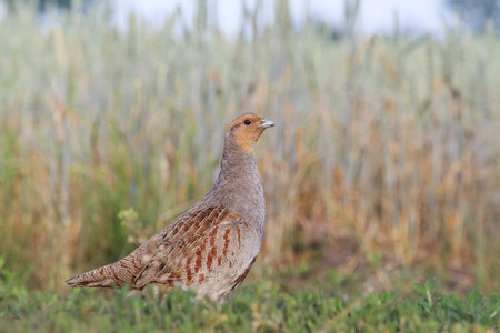 outspread: partridge in a wheat field,summer day,bird on a ground