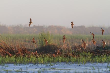 A flock of migrating shorebirds, spring swamp peat, birds in flight,