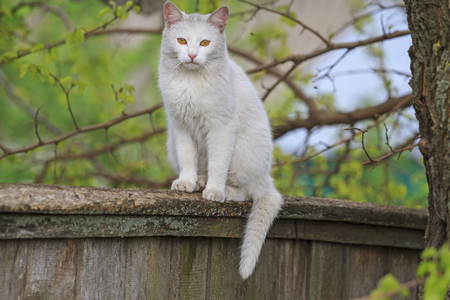 playful behaviour: White cat sitting on the fence, yellow eyes, march