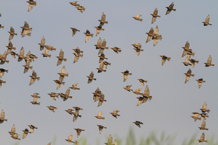 migrating: Migrating starlings on a background of gray sky, young, autumn, summer