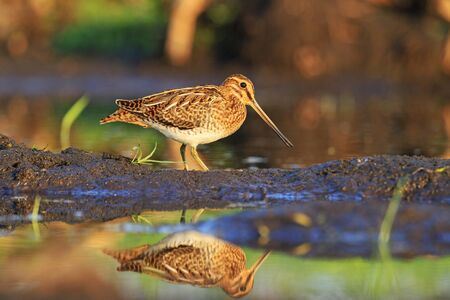 young bird: Snipe hunting bird stands in profile, young bird
