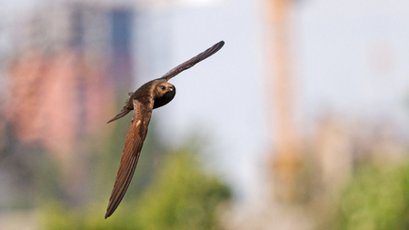 ornitology: Apus fast flying among buildings summer yard, whistling birds