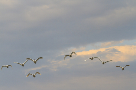 tundra swan: Swans flying against the backdrop of magnificent sky, summer, bird migration Stock Photo
