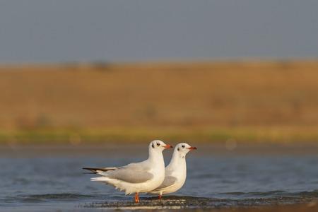 pleasant emotions: Birds couple laughs, vibrant colors, sea gull, pleasant emotions
