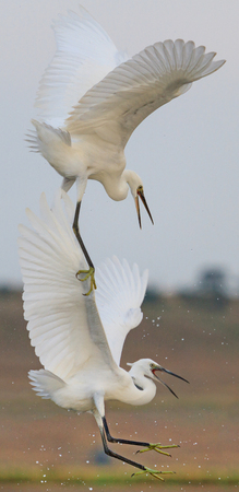 egrets: Two egrets are fighting in flight rivals summer day Stock Photo