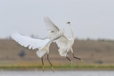 egrets: Fight two white birds, egrets, action, wonderful birds