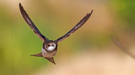 flying bird, portrait, swallow , rare moment,wonderful bird