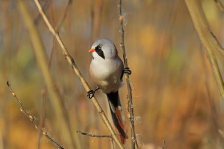 bird watcher: birdie on the splits, look left, autumn, golden leaves, a unique moment,Bearded reedling Stock Photo