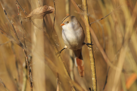 birdie: birdie on the splits, look left, autumn, golden leaves, a unique moment,Bearded reedling Stock Photo