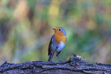 redbreast: Robin on a branch in autumn background,orange,fall